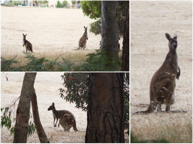 First kangaroos in the wild!