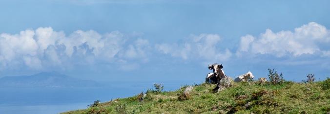 Azores_cow - 1