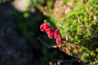 Azores_Flora - 6